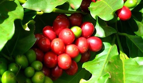 Cà phê Cherry được trồng nhiều ở vùng đất khô, nắng